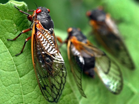Cicadas on a tree in Maryland