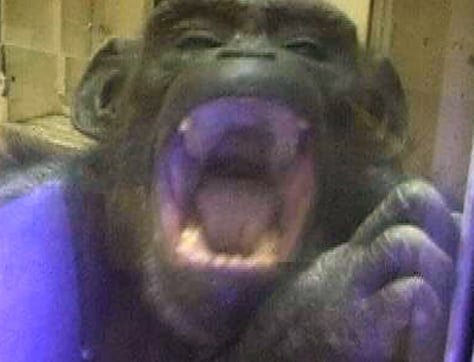 chimp yawns