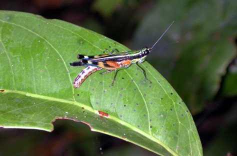 Image: Grasshopper on seedling