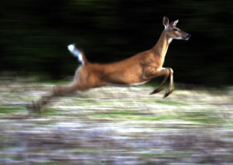 A WHITETAIL DEER RUNS THROUGH A CORN FIELD IN SOUTHEASTERN WISCONSIN