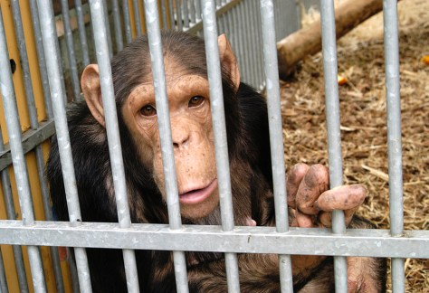 Chimpanzee at Dutch shelter