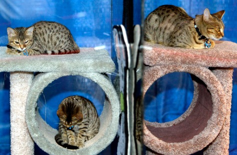 Cloned cats on display at Cat Show New York