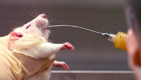 Image: Rat drinking alcohol