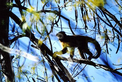 Image: Capuchin