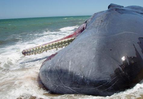 Image: Sperm whale