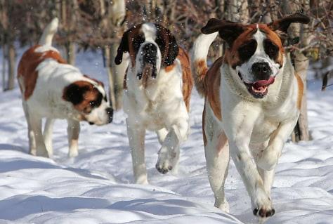 Image: Saint Bernard dogs.