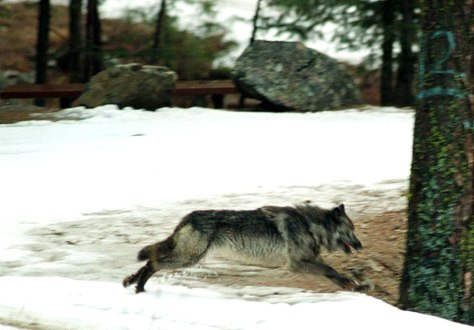 IMAGE: GRAY WOLF RELEASED INTO WILD IN 1995