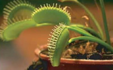 Image: Venus flytrap