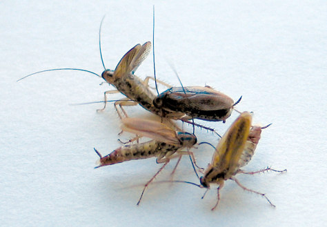 Image: Cockroach courtship