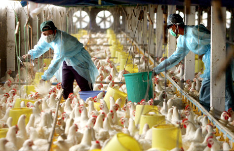 Vietnamese workers in protective clothing feed chickens at a poultry farm in the outskirts of