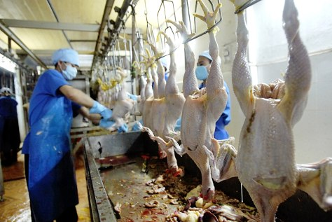 WORKERS CLEAN CHICKENS AT SLAUGHTER HOUSE