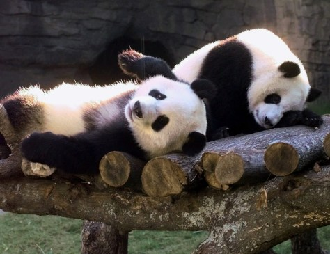 Yang Yang and Lun Lun play at zoo