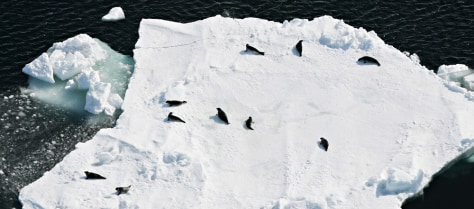 SEALS REST ON ICE FLOE