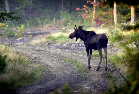 MOOSE IN NORTH WOODS