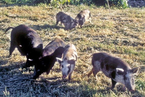 WILD PIGS ON ISLAND