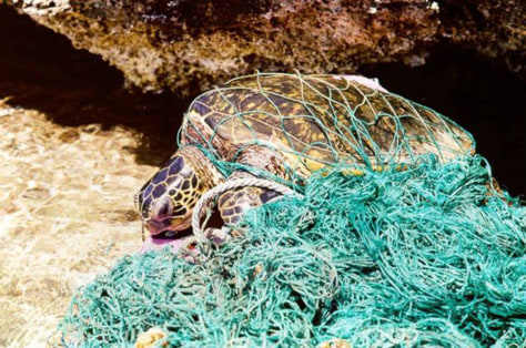 Image: Turtle entangled in a fishing net.