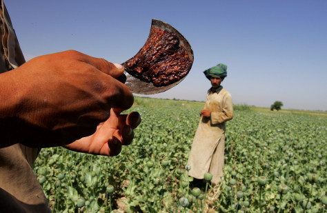 Afghanistan Farmers Harvest Healthy Crop Of Poppies