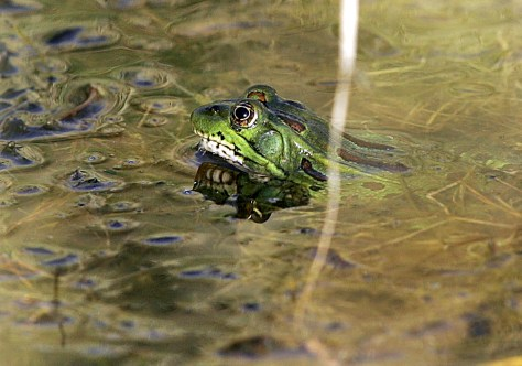 IMAGE: CHIRICAHUA LEOPARD FROG