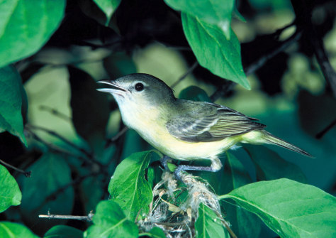 Image: Bell's vireo