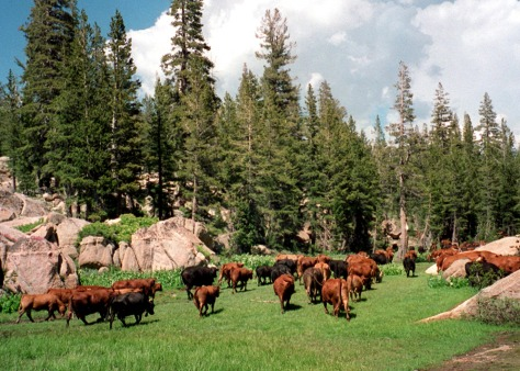 IMAGE: CATTLE ON FEDERAL LAND