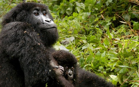 IMAGE: MOUNTAIN GORILLA AND HER BABY