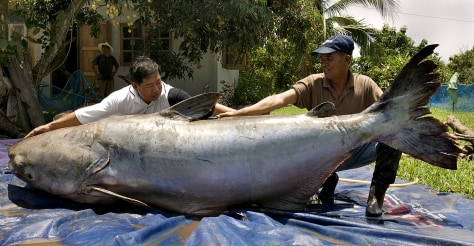IMAGE: GIANT CATFISH IN THAILAND