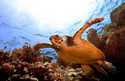 A sea Turtle (Eretmochelis imbricata) sw