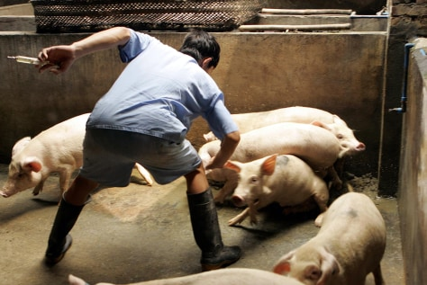 A farmer grabs one of his pigs to give i