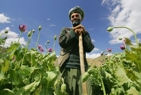 Image: Afghan poppy farmer