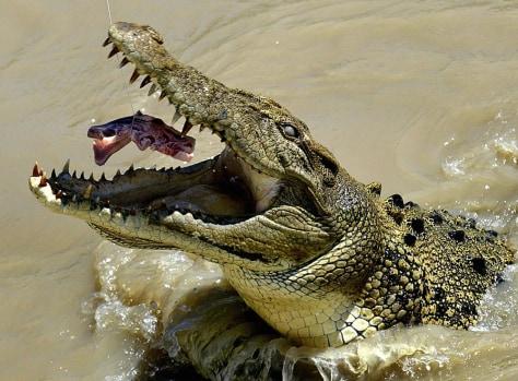 Image: Crocodile.