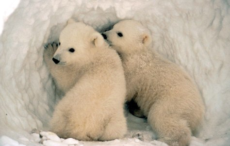 IMAGE: POLAR BEAR CUBS