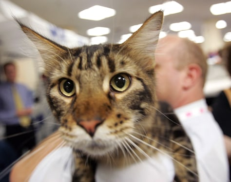Denali, a Maine Coon cat, gets a ride back to his cage at the CFA-IAMS Cat Championship in New York