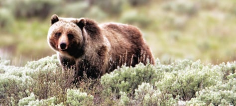 IMAGE: Grizzly in Yellowstone