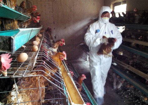 Chinese health workers gather chicken to