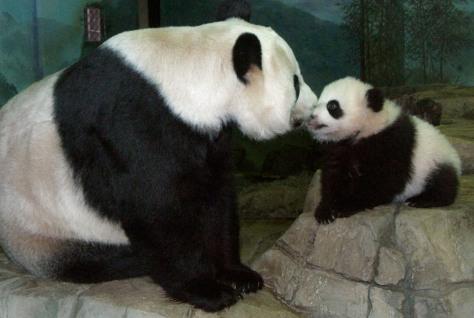 Panda cub nuzzles mom