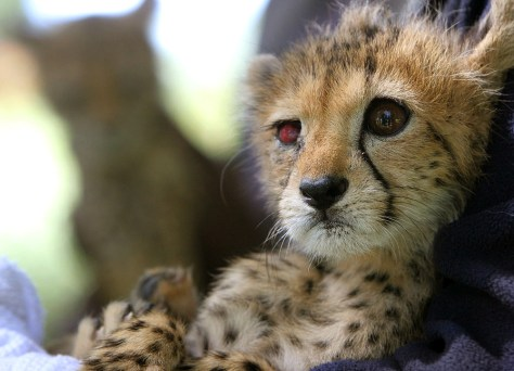 IMAGE: Rescued baby cheetahs