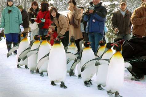 Penguins walking in Japan zoo