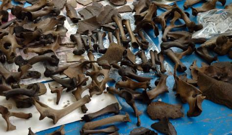 cache of Dodo bones