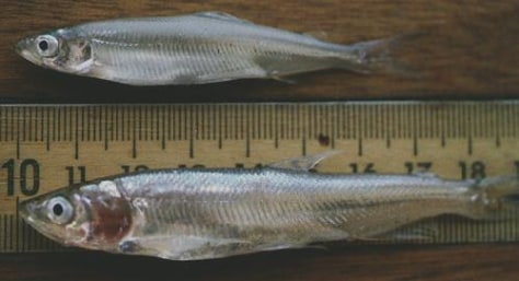 IMAGE: DELTA AND LONGFIN SMELT