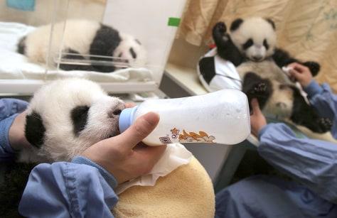 Image: Panda cubs