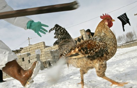Image: Chicken running from Turkish Agriculture Ministry employees