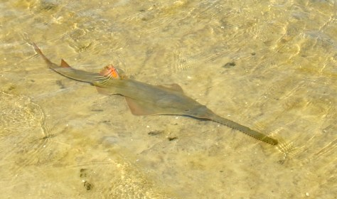 IMAGE: SMALLTOOH SAWFISH