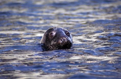 IMAGE: GRAY SEAL