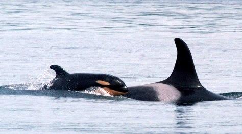 Image: Orcas