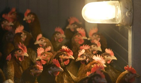Chicken pictured inside of a chicken farm in Dietramszell near Munich, Germany.