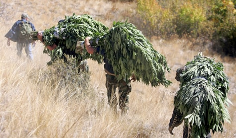 IMAGE: MARIJUANA PULLED FROM FOREST