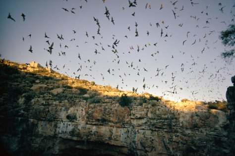 Image: Bats leaving cave