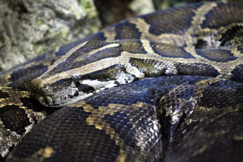 A Burmese Python sits still in a cage at the Palm Beach Zoo in Florida