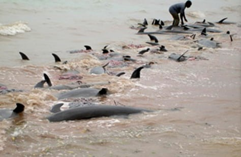 IMAGE: Dead dolphins