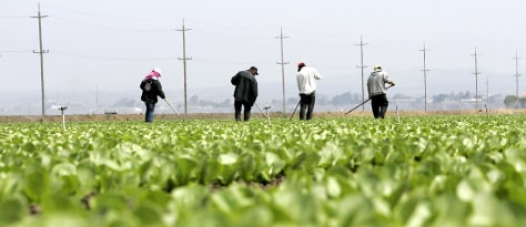 Workers tend to lettuce field near Salinas California